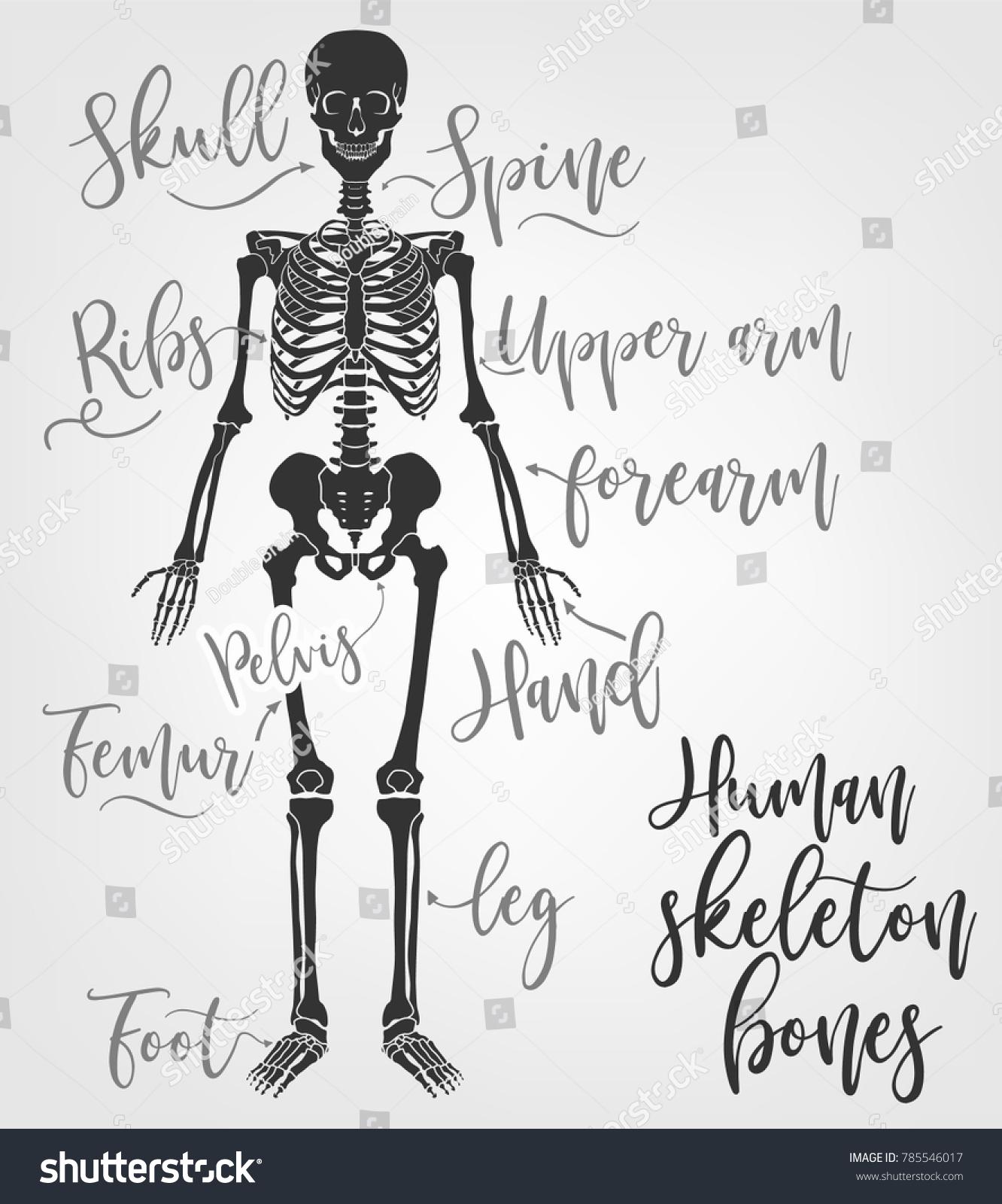 Human Skeleton Bones Vector Illustration Flat Stock Vector Royalty