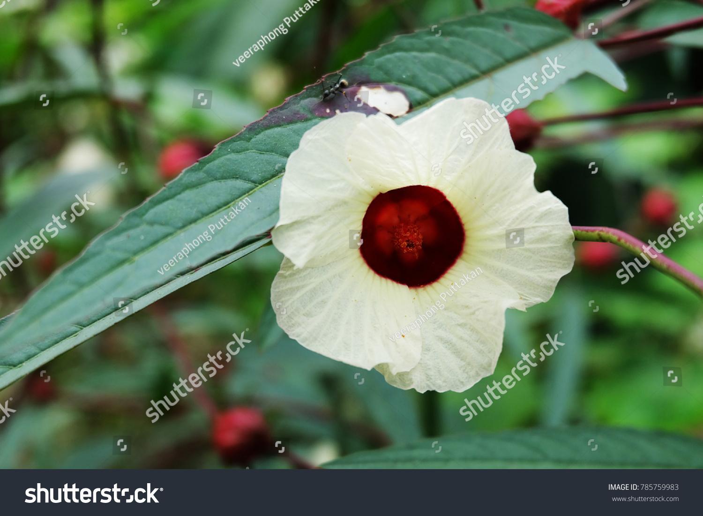 Hibiscus sabdariffa rosella jamaican sorel roselle stock photo edit hibiscus sabdariffa or rosella jamaican sorel roselle flower of hibiscus sabdariffa edible izmirmasajfo