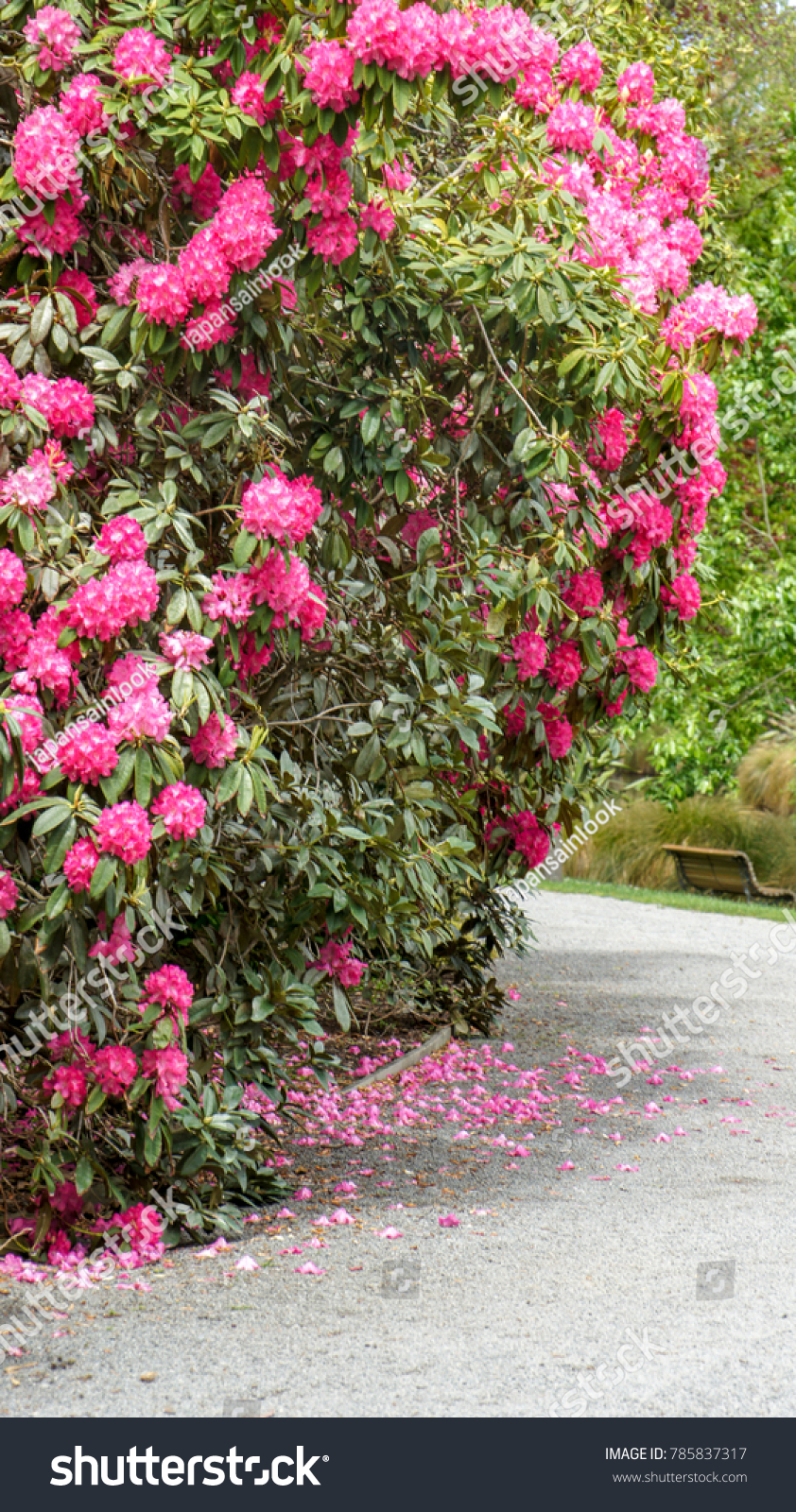 Beautiful Rhododendron Flowers New Zealand Stock Photo Royalty Free