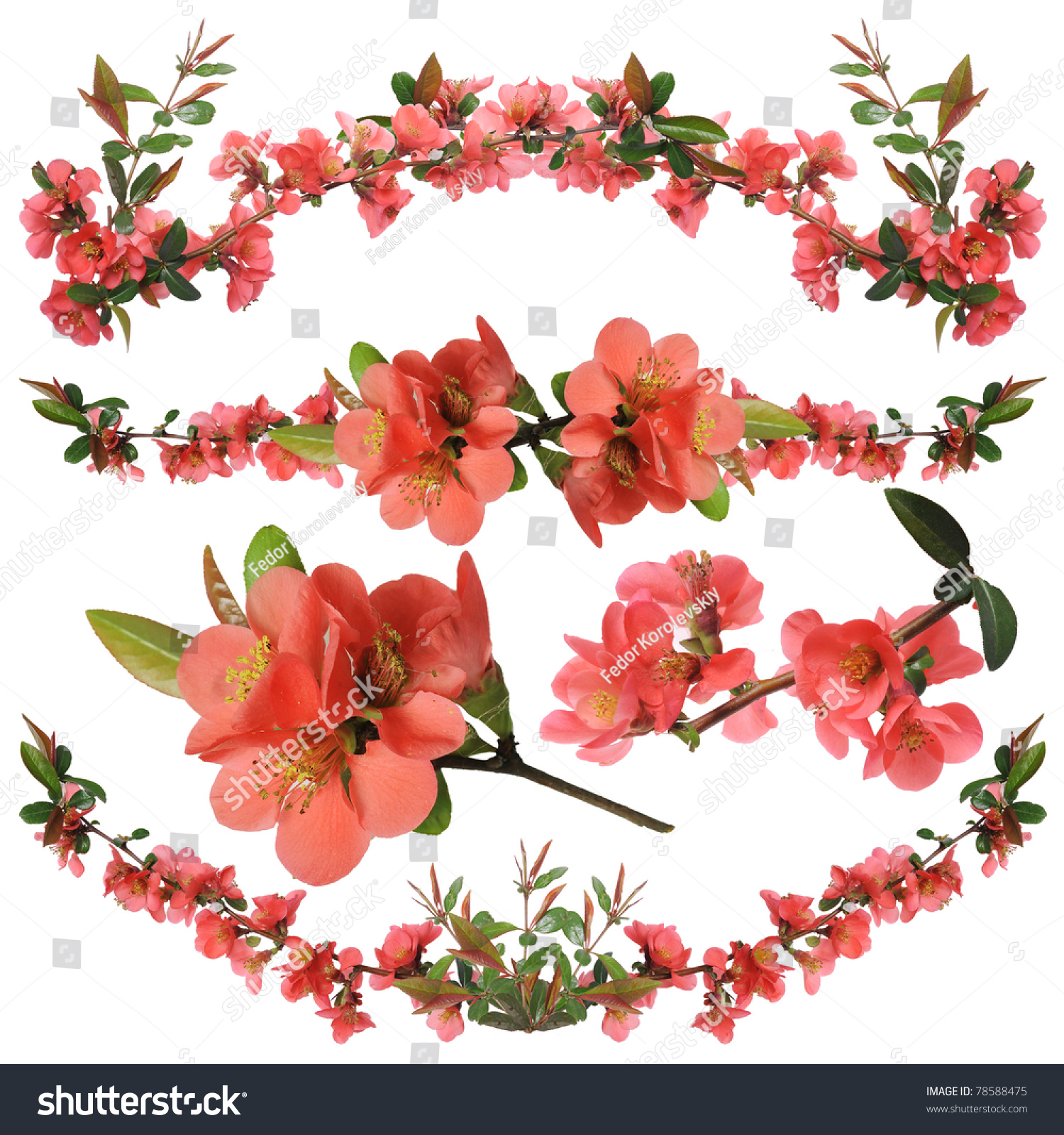 Ornamental shrub flowers japanese quince isolated stock photo ornamental shrub flowers a japanese quince it is isolated on a white background biocorpaavc Image collections