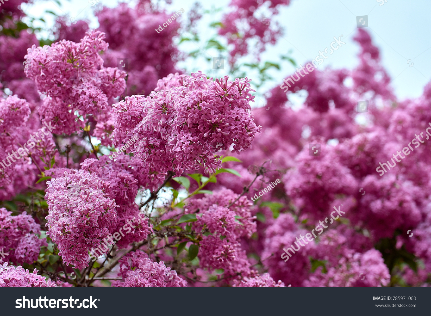 Pink Lilac Bush On Blurred Blue Stock Photo Edit Now 785971000