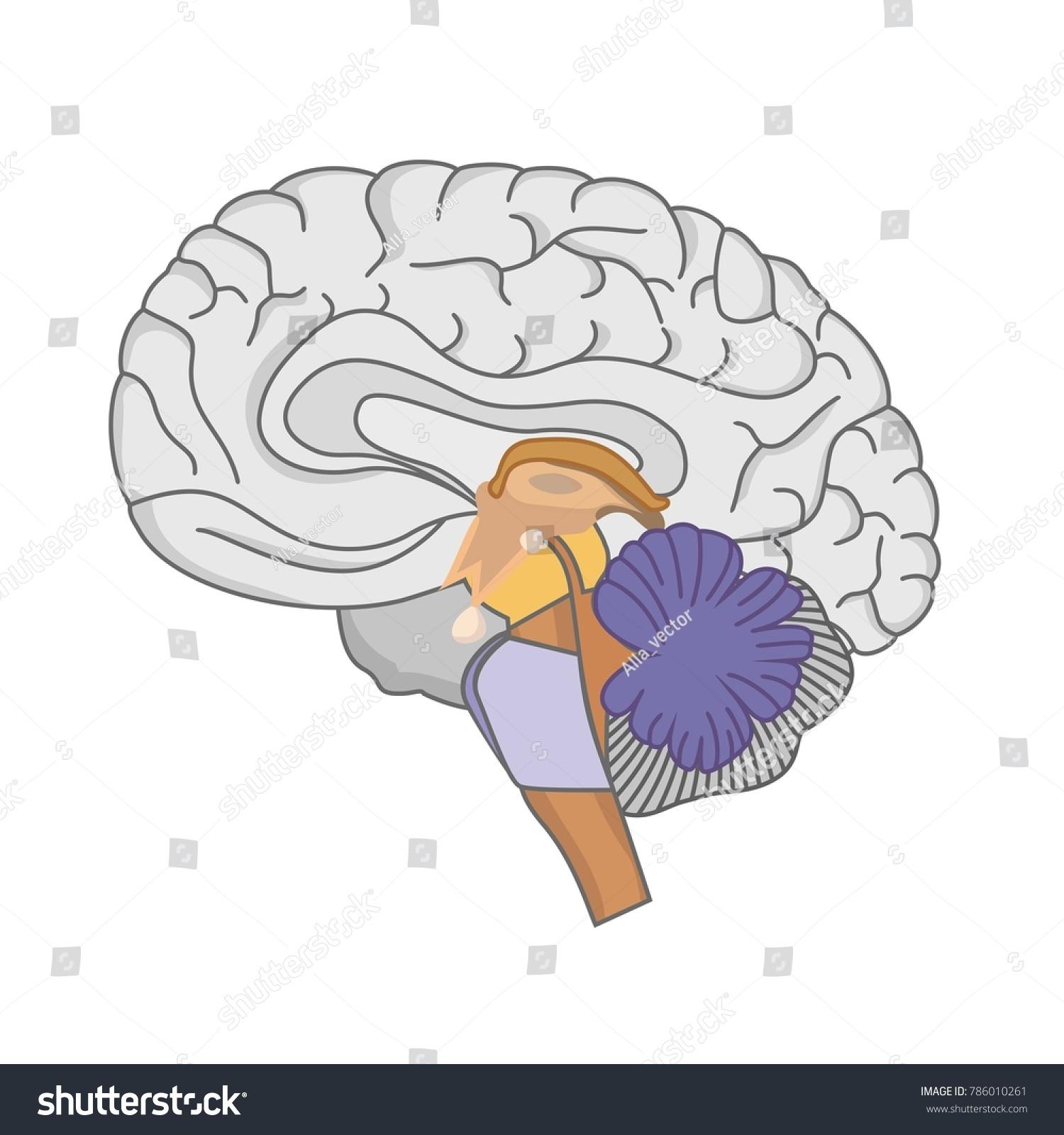 Human Brain Anatomy Human Brain On Stock Vektorgrafik Lizenzfrei