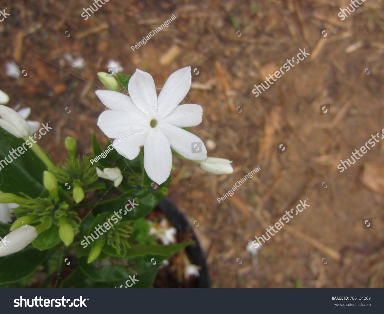 Jasminum multiflorum star jasmine benefit fresh stock photo edit jasminum multiflorum the star jasmine benefit fresh leaves brewed water toxins insect izmirmasajfo