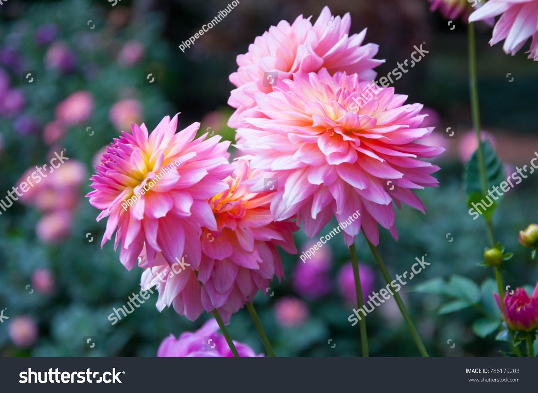 Dahlia Flower Pink Dahlia Flower Light Stock Photo Edit Now