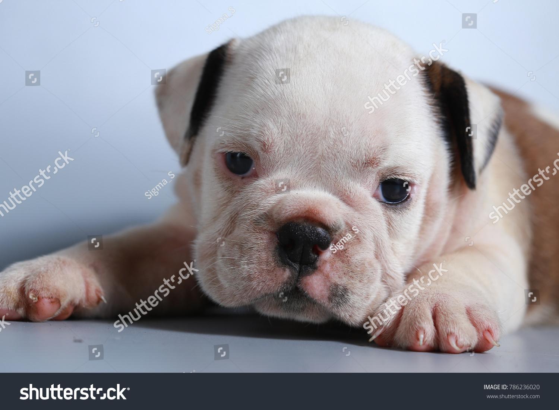 2 Month Purebred English Bulldog Puppy Animals Wildlife Stock Image 786236020