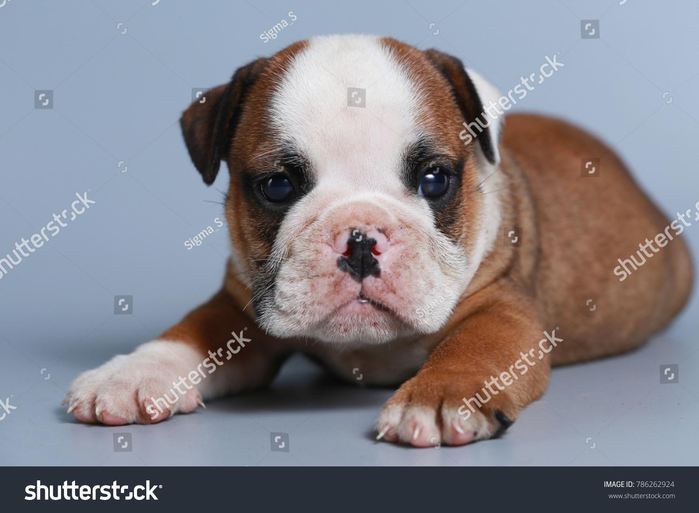2 Month Purebred English Bulldog Puppy Stock Photo Edit Now 786262924