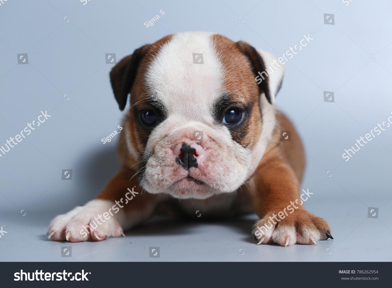 2 Month Purebred English Bulldog Puppy Stock Photo Edit Now 786262954