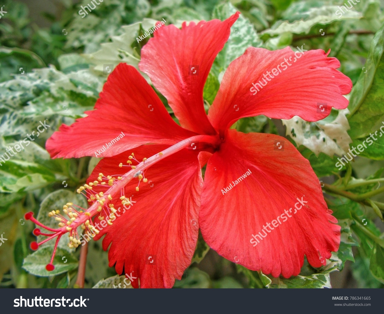 Red china rose flower known shoeblackplant stock photo royalty free red china rose flower also known as shoeblackplant scientific name hibiscus rosa sinensis izmirmasajfo Image collections