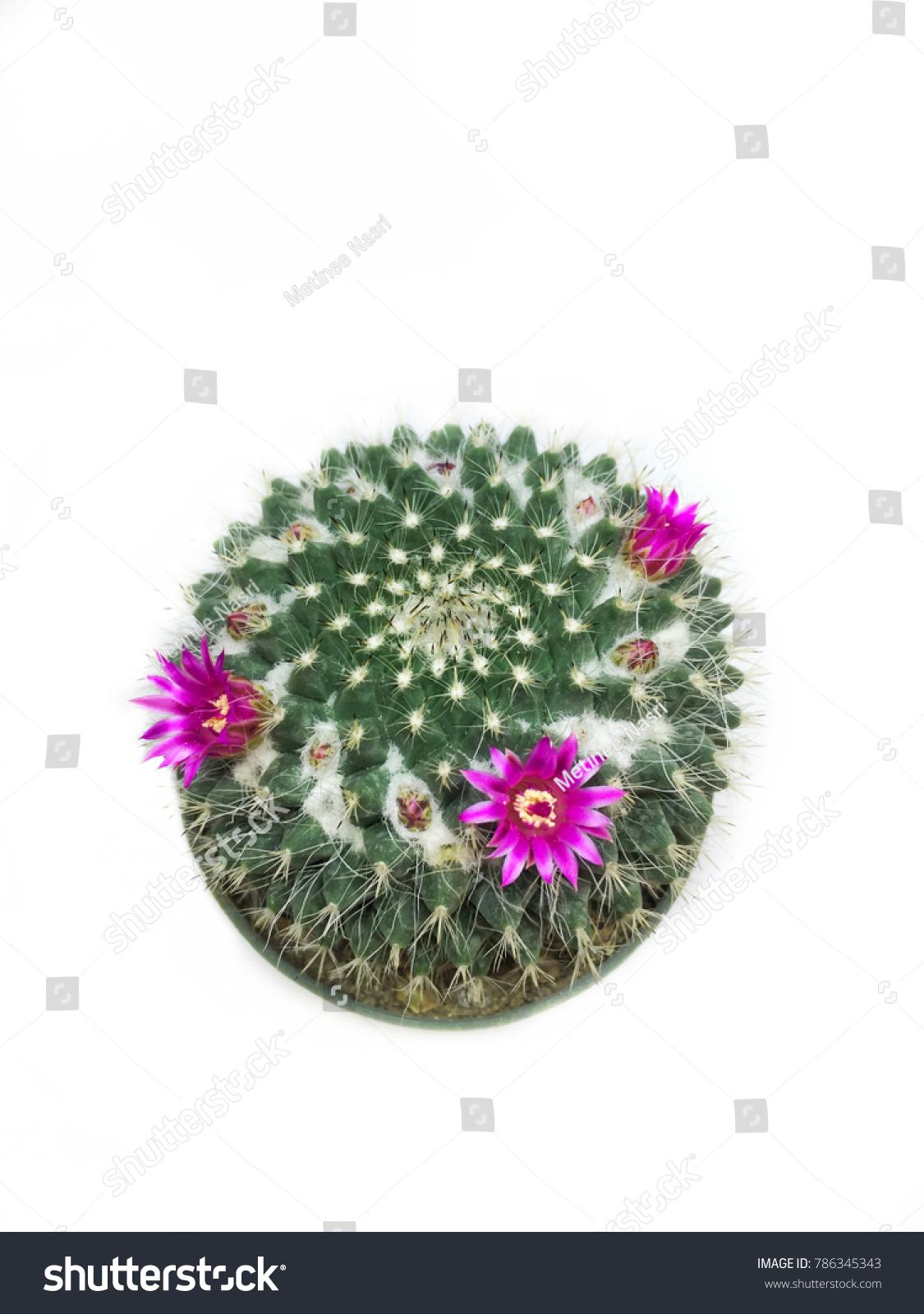 Mammillaria Cactus Pink Flowers Close White Stock Photo Edit Now