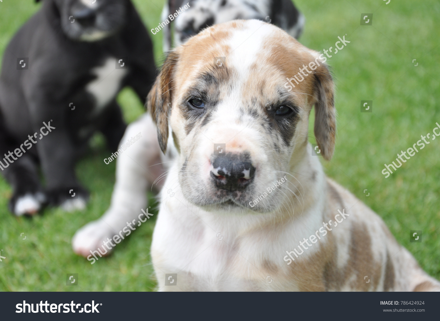 Brown White Great Dane Puppy Stock Photo Edit Now 786424924