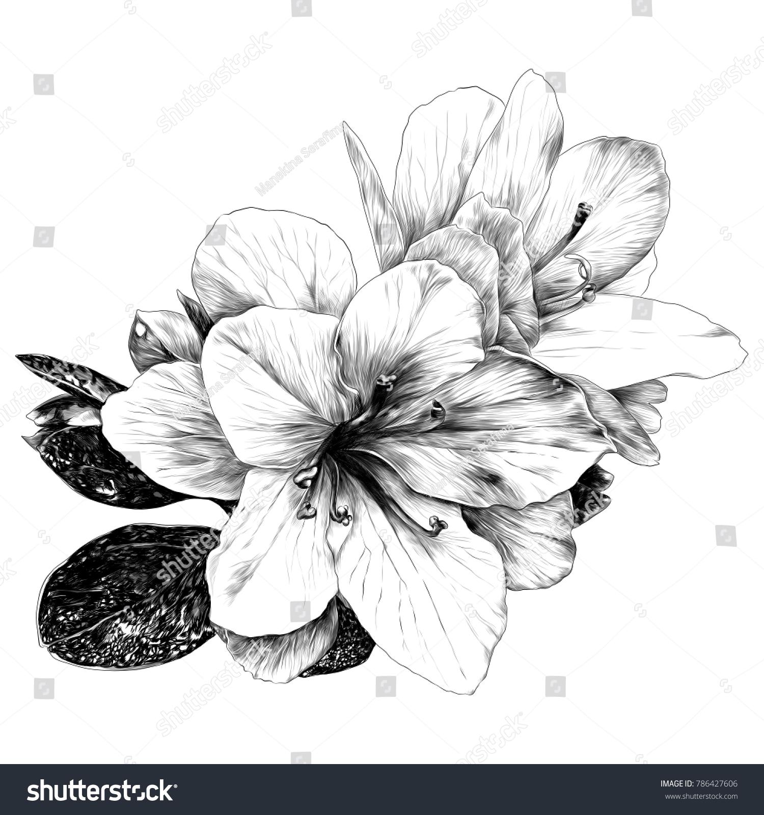 Bouquet Azalea Flowers Sketch Vector Graphics Stock Vector Royalty
