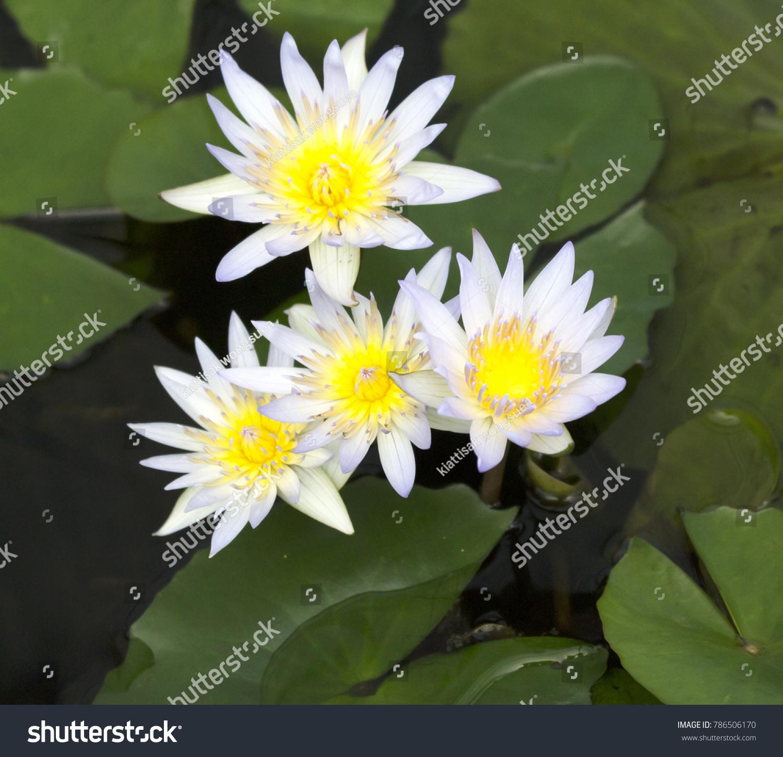 White Lotus In Botanic Garden Ez Canvas