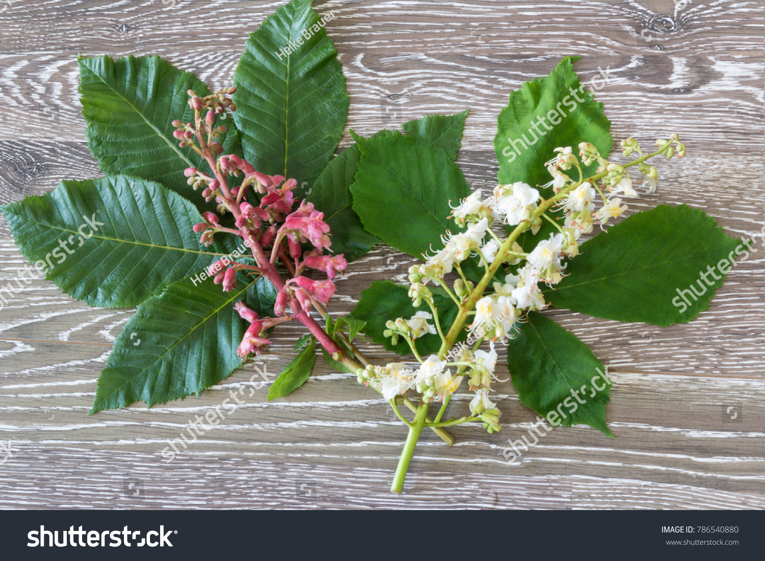 Red White Chestnut Blooms Bach Flower Stock Photo Royalty Free