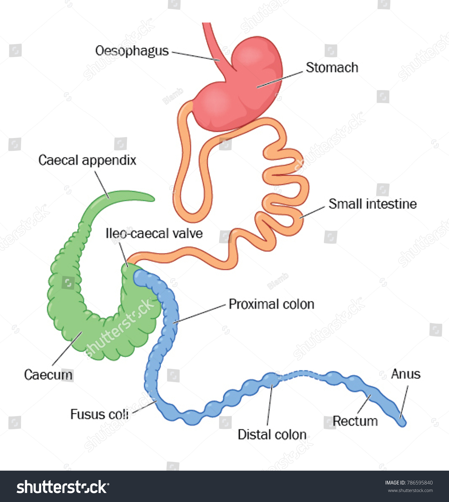 Digestive System Rabbit Showing Enlarged Appendix Stock Vector ...