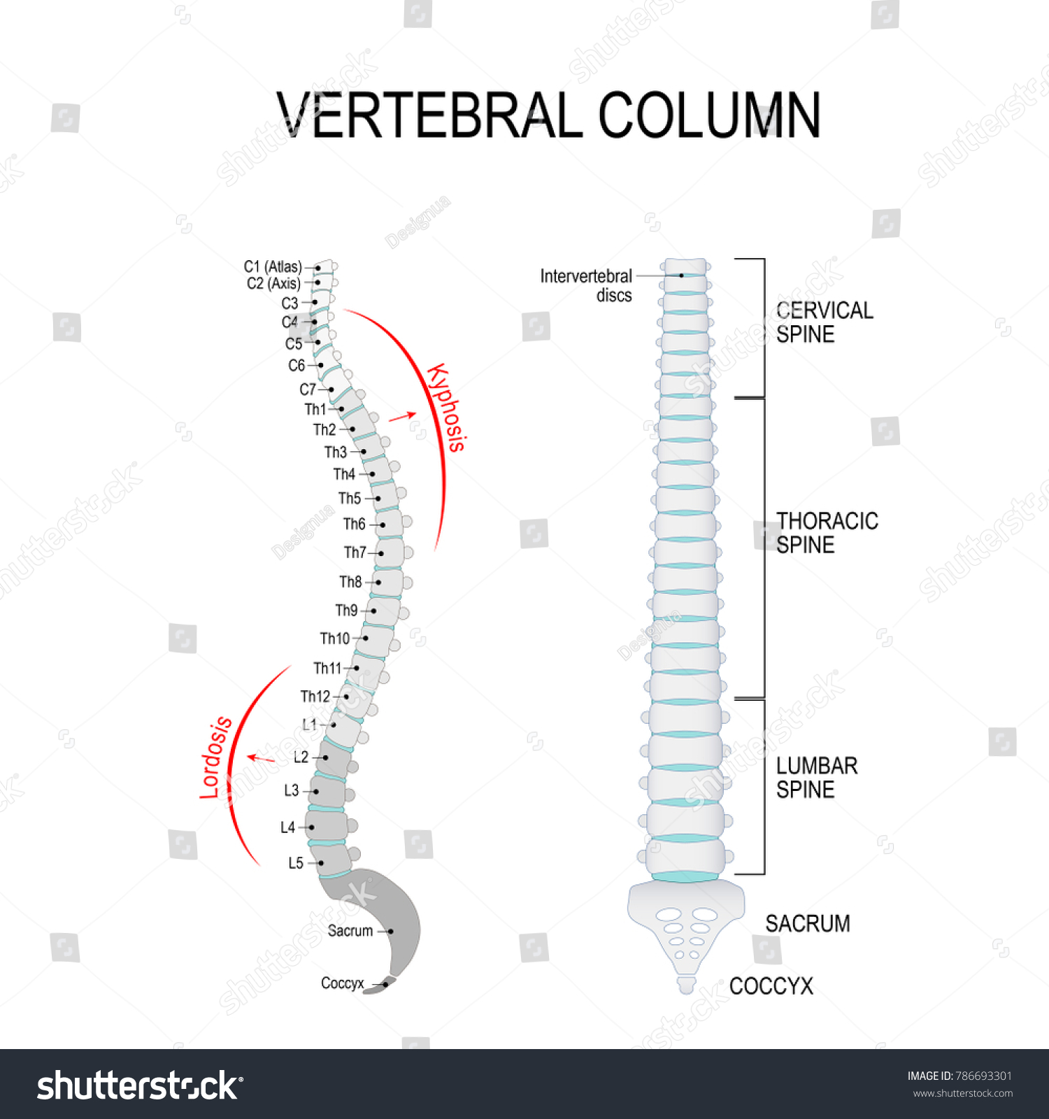 Vertebral Column Cervical Thoracic Lumbar Spine Stock Vector