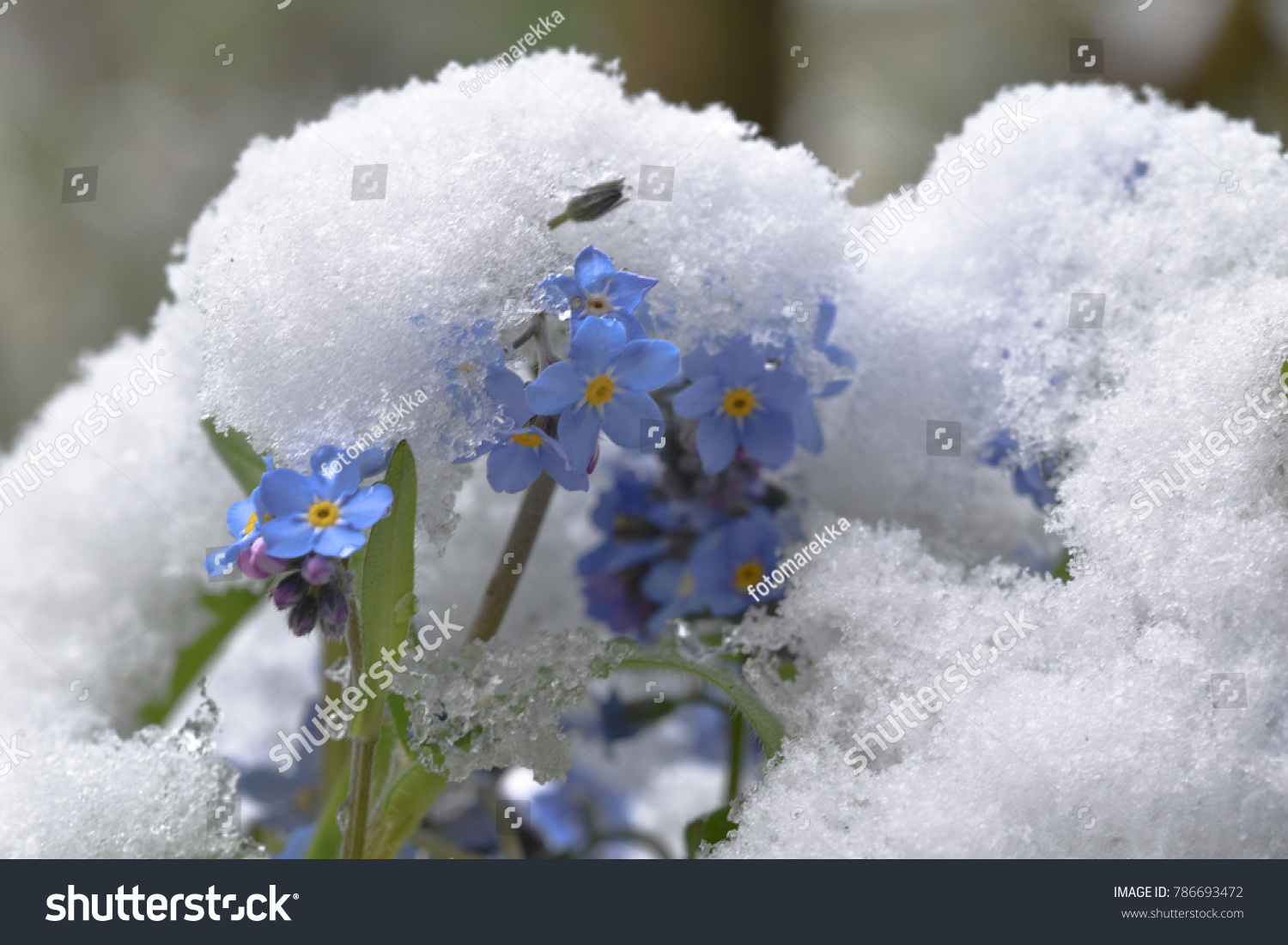 Forgetmenot Myosotis Snow Spring Flowers Winter Stock Photo Edit