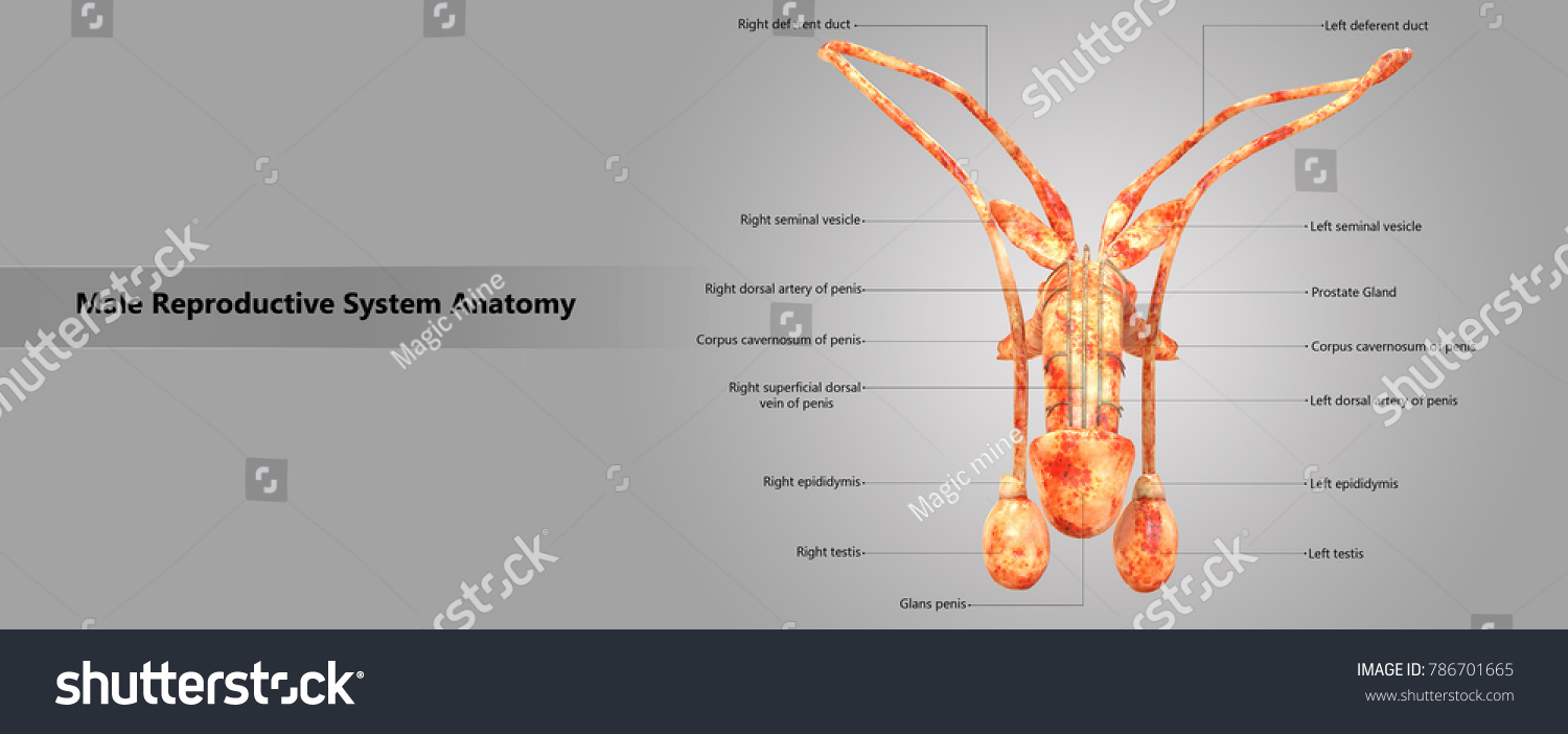 Male reproductive system labels anatomy anterior stock illustration male reproductive system with labels anatomy anterior view 3d ccuart Choice Image