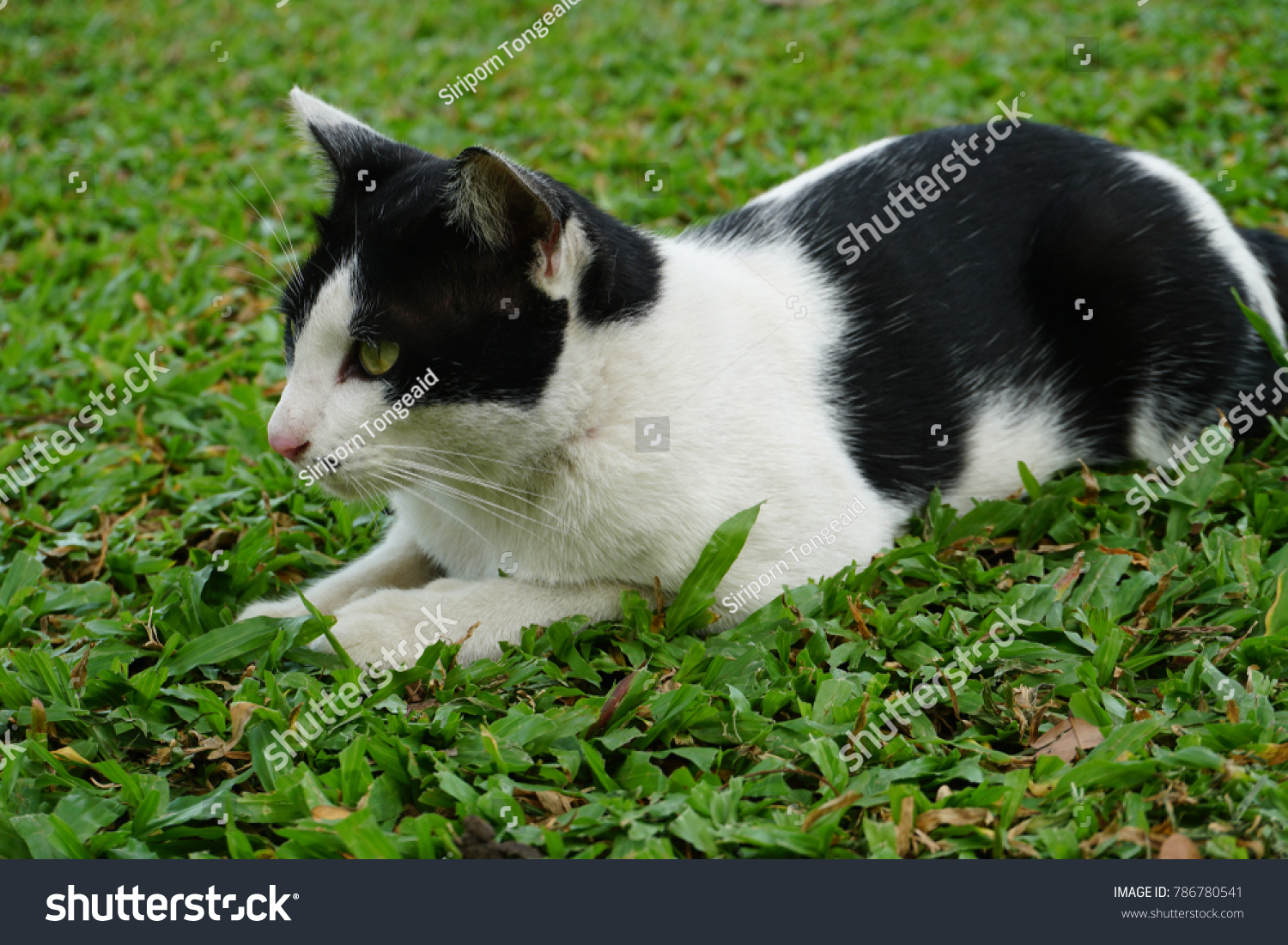 Cats Similar Anatomy Other Felids Strong Stock Photo (Royalty Free ...