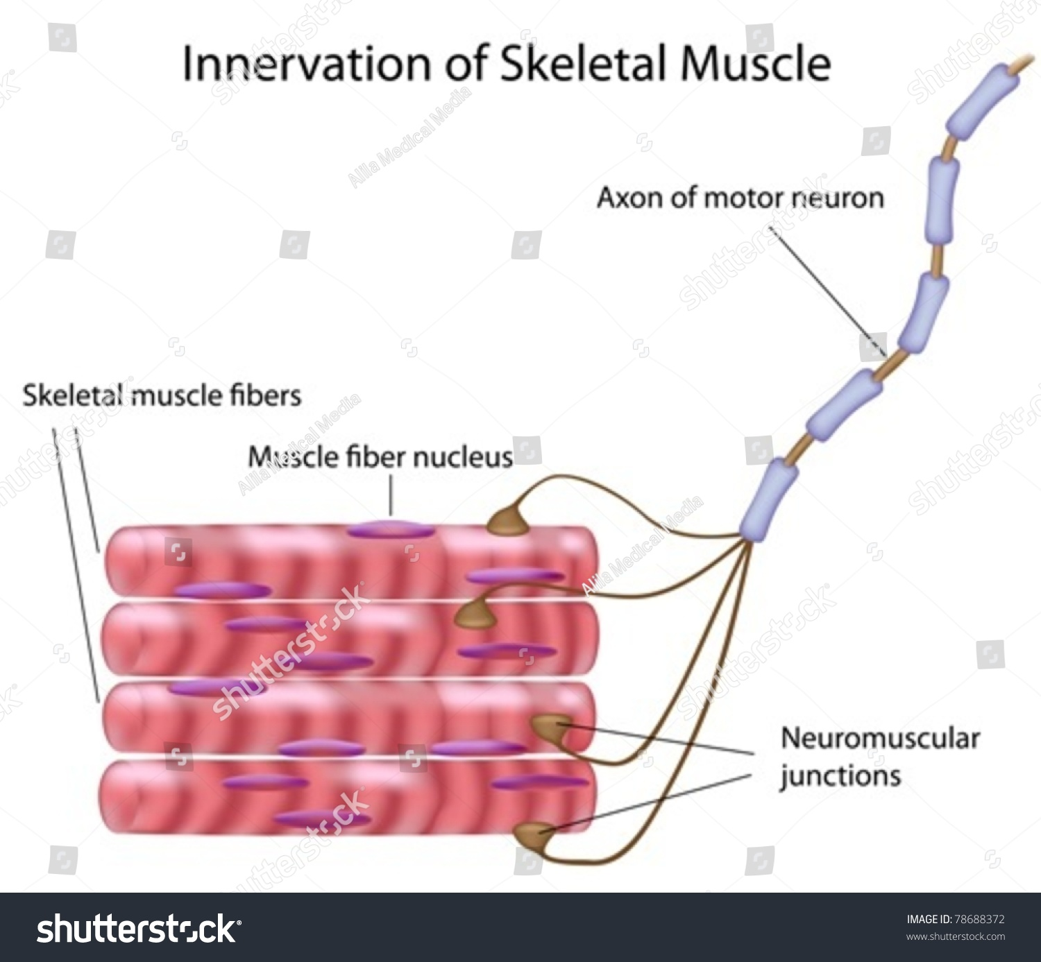 stockvectorskeletalmusclefibersandmotorneuroninamotor – Neuron and Neuromuscular Junction Worksheet
