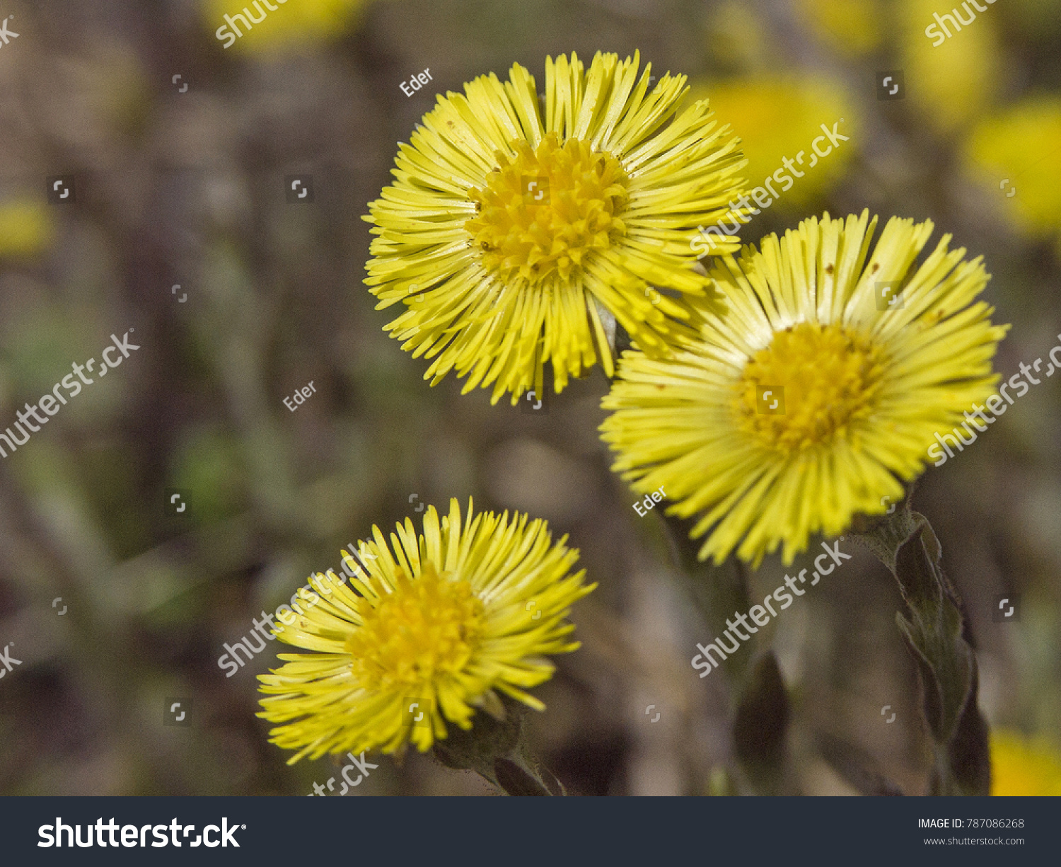 Early Spring Coltsfoot Yellow Flowers Glow Stock Photo Edit Now