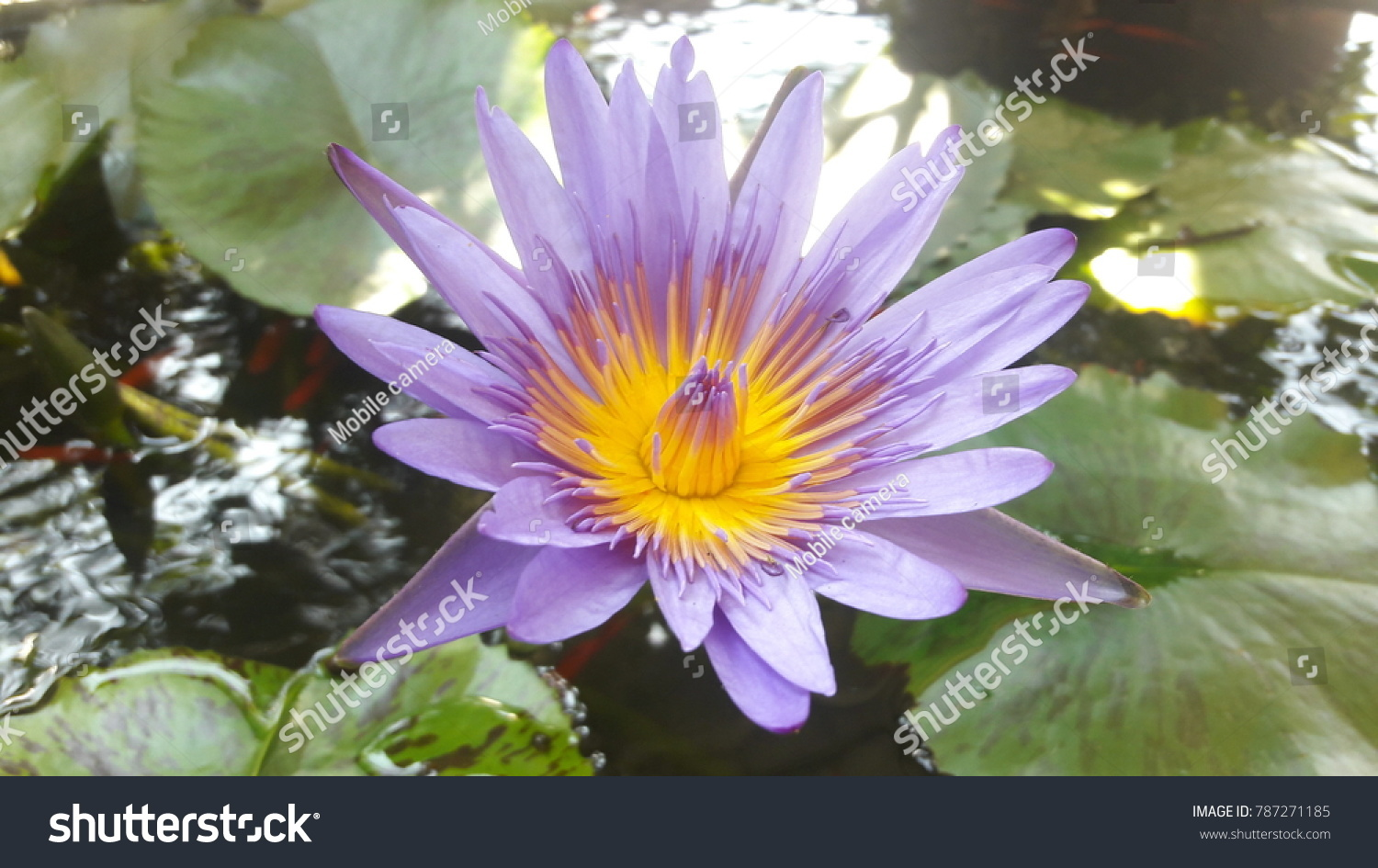 Lotus Inside Flower Comprising Both Stamen Stock Photo Edit Now