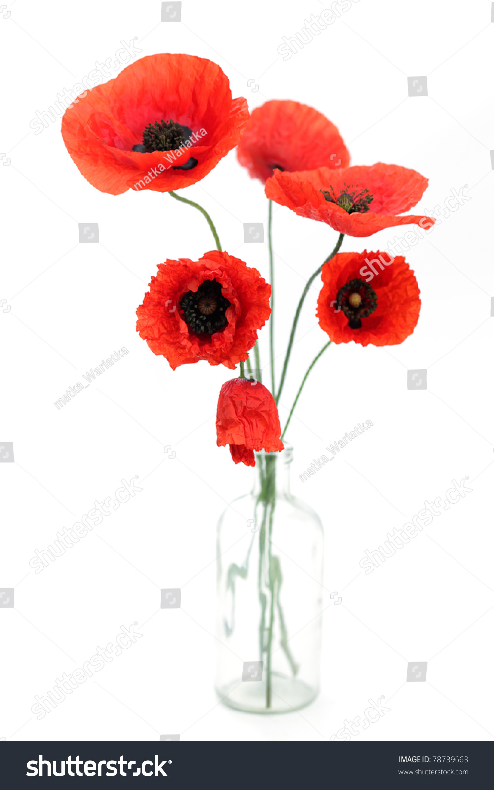 Red Poppies On White Background Flowers Stock Photo Royalty Free