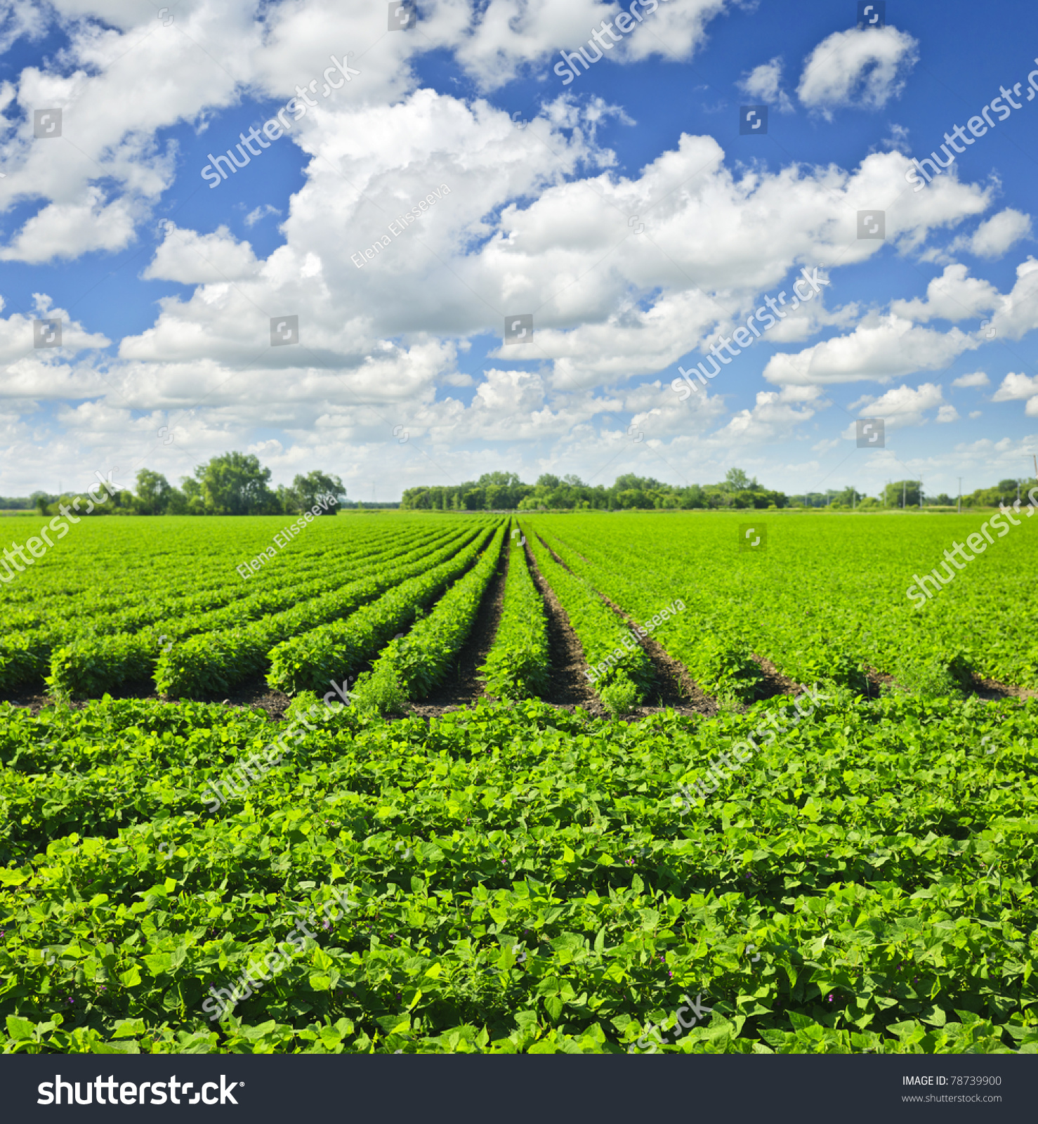 Rows Soy Plants Cultivated Farmers Field Stock Photo ...