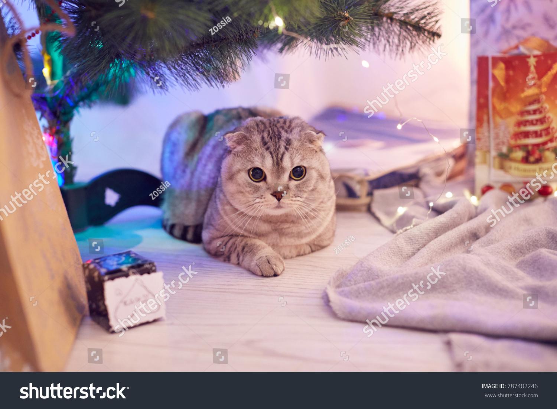 Scottish Fold Cat Lies Gifts Under Stock Photo (Edit Now) 787402246 ...