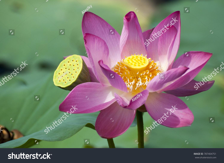 Lotus flower symbolizes purity beautiful flower 2017 the lotus flower and its beautiful story meaning buycottarizona Choice Image