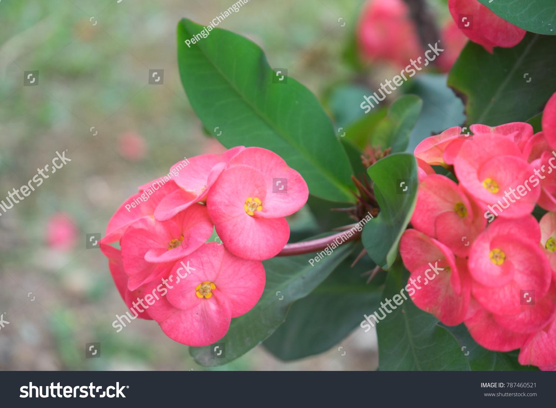 Crown Thorns Plant Popular Flower Ornament Stock Photo Edit Now