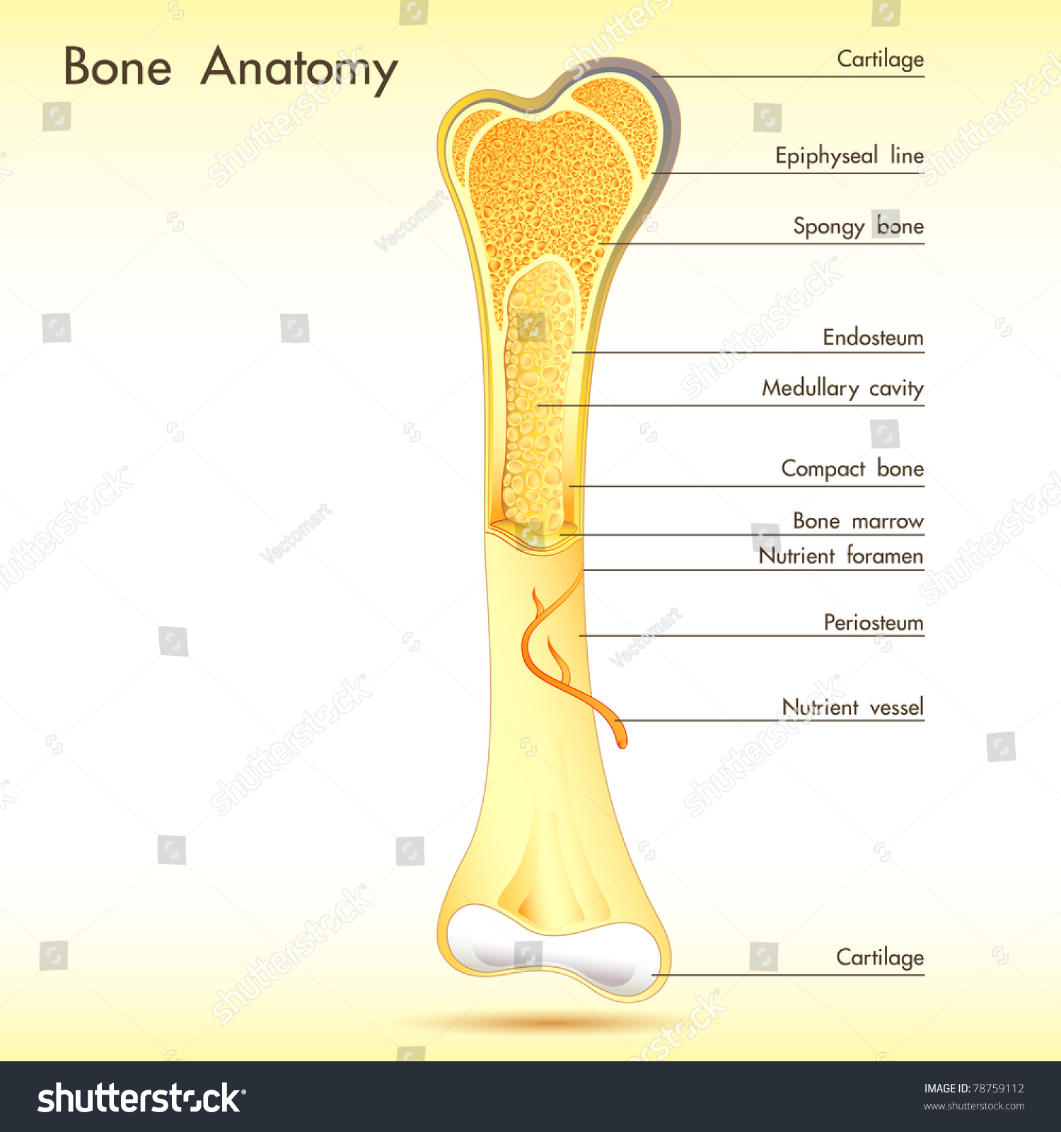 Illustration Anatomy Bone Label On Abstract Stock Vector (Royalty ...