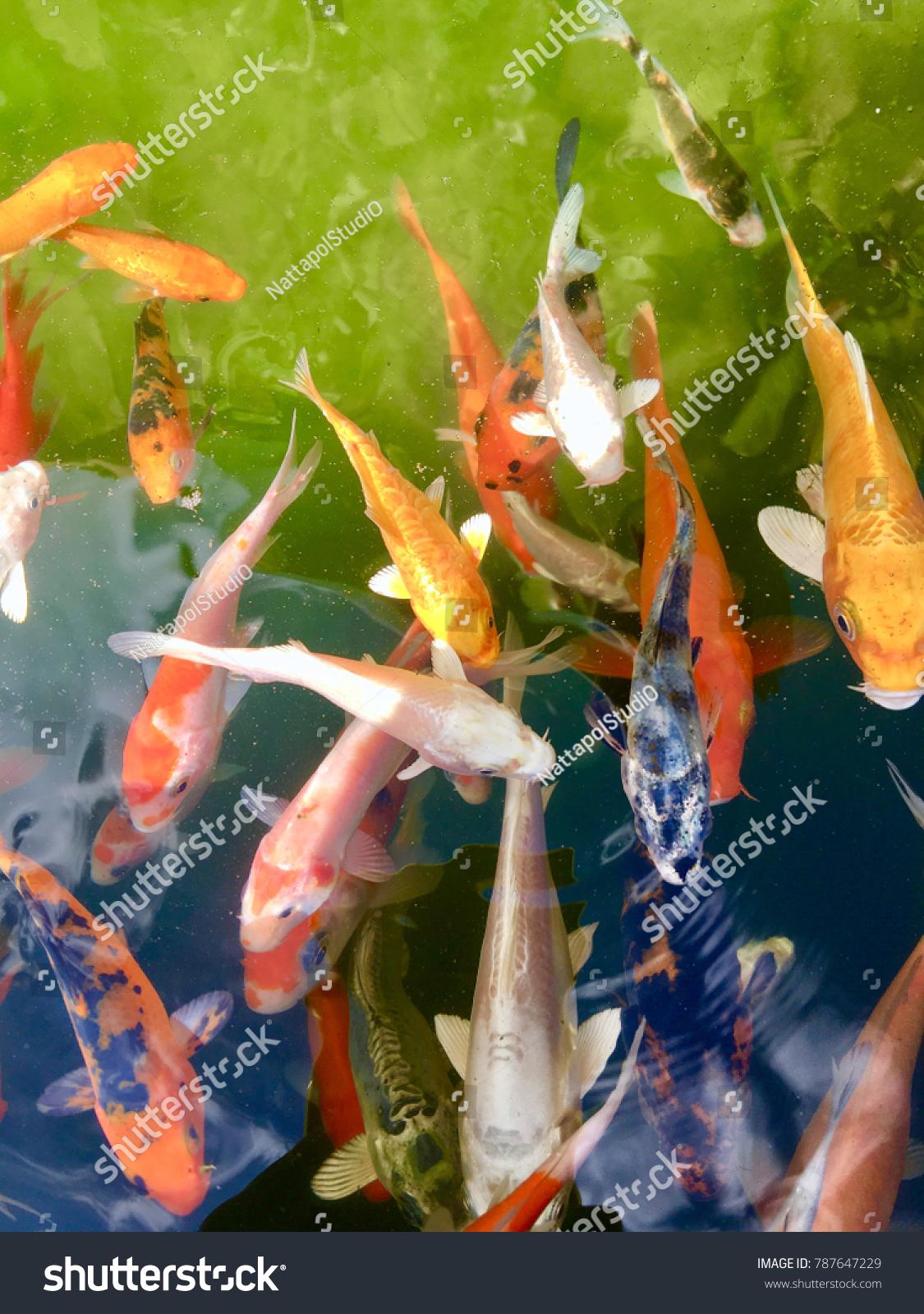 Japan Fish Call Carp Koi Fish Stock Photo (Royalty Free) 787647229 ...