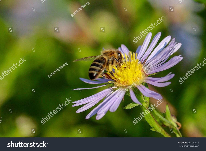 Bee Sucking Nectar And Purple Flowers Fresh Ez Canvas