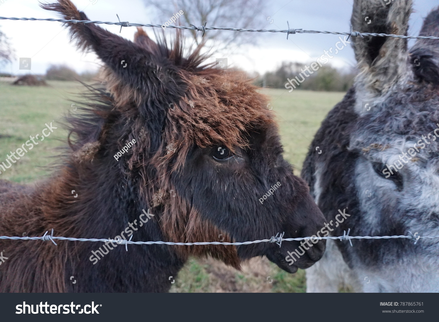 small brown hairy donkey baby his stock photo 787865761 - shutterstock