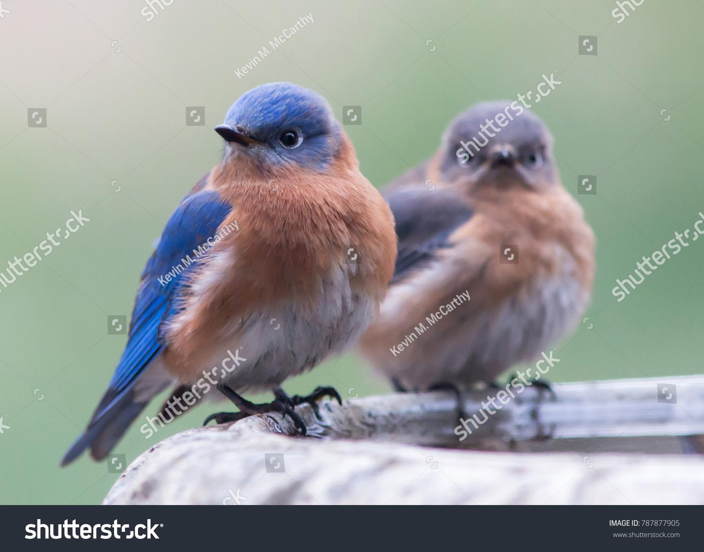 Dead bluebird symbolism image collections symbol and sign ideas dead bluebird symbolism gallery symbol and sign ideas pair eastern bluebirds perched on bird stock photo biocorpaavc