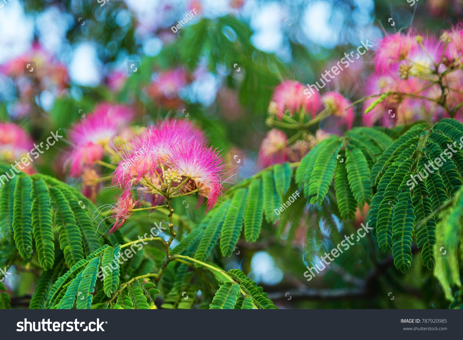 Fluffy Pink Flowers Albizia Julibrissin Stock Photo Edit Now