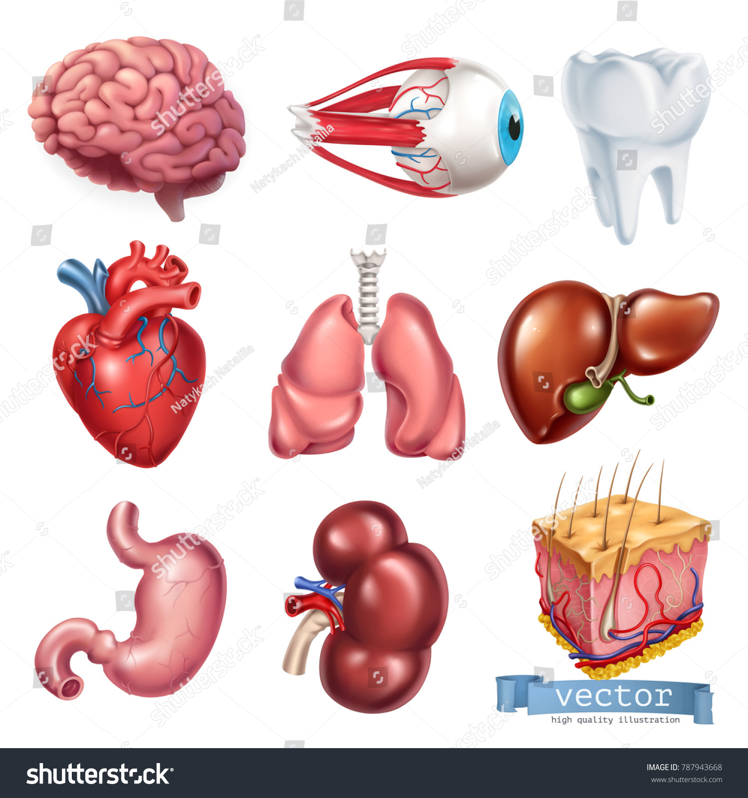 Human heart brain eye tooth lungs em vetor stock 787943668 human heart brain eye tooth lungs liver stomach kidney ccuart Choice Image