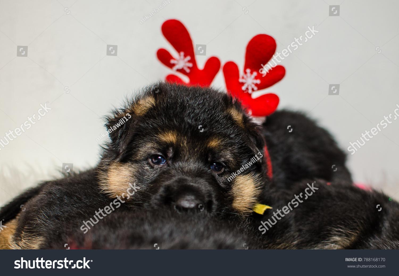 Very Cute Puppies German Shepherd Stock Photo Edit Now 788168170