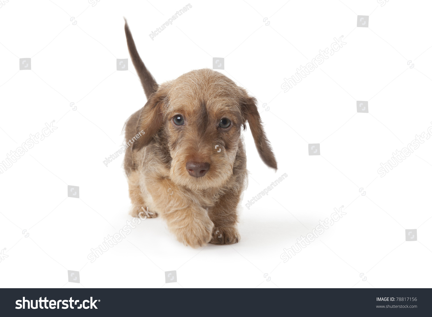 Walking Wirehaired Dachshund Puppy On White Stock Photo (Royalty ...