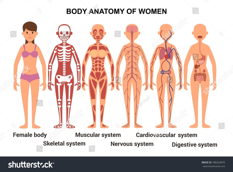 Anatomy Female Body Skeletal Muscular Nervous Stock Illustration