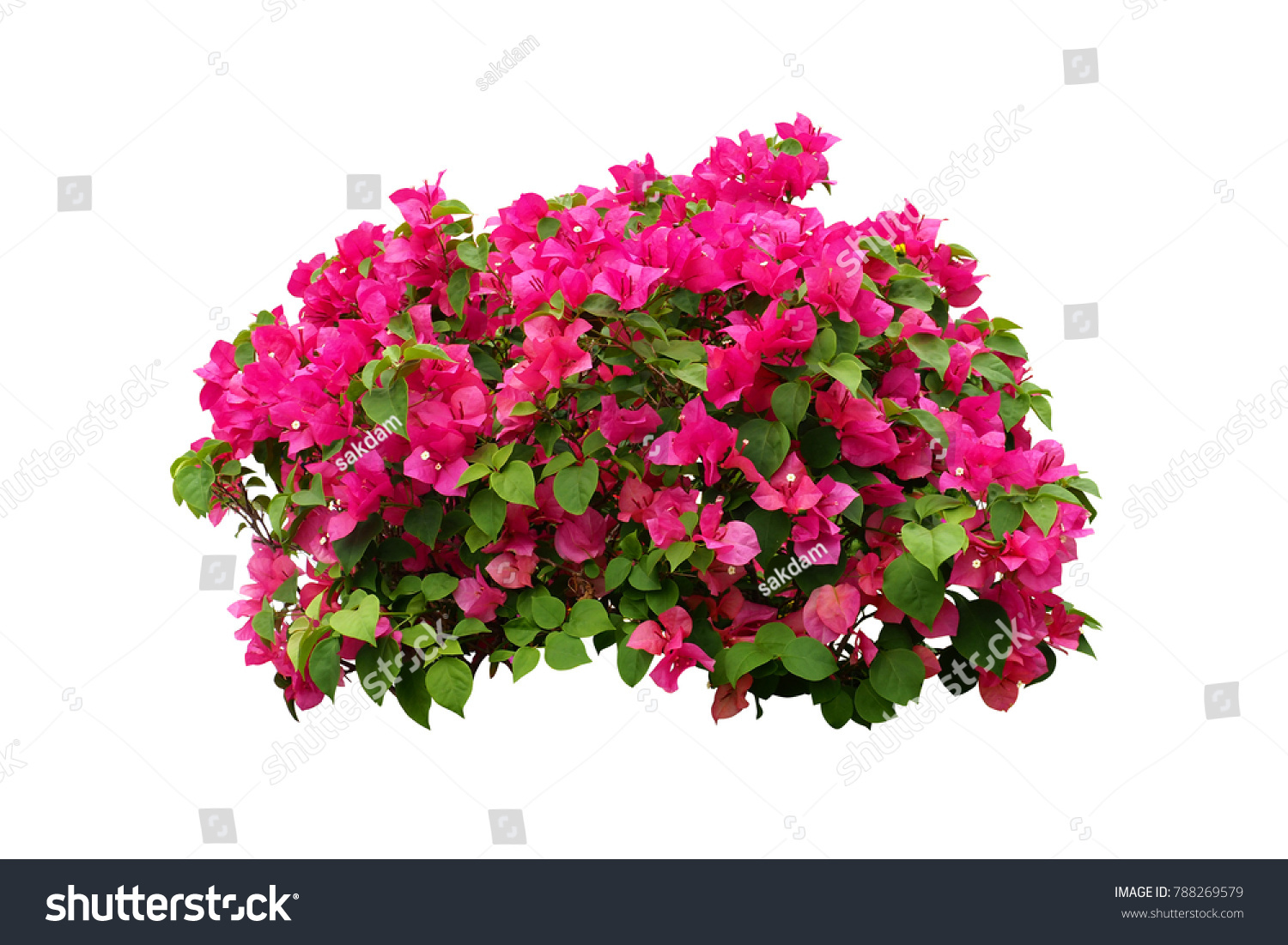 Pink Flowers Bush Tree Isolated On Stock Photo Edit Now 788269579