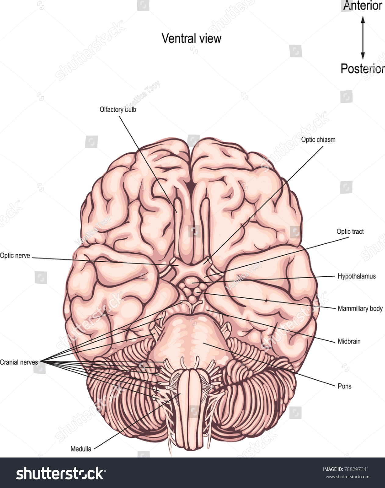 Ventral Surface Brain Underside Brain Anatomy Stock Vector 788297341 ...