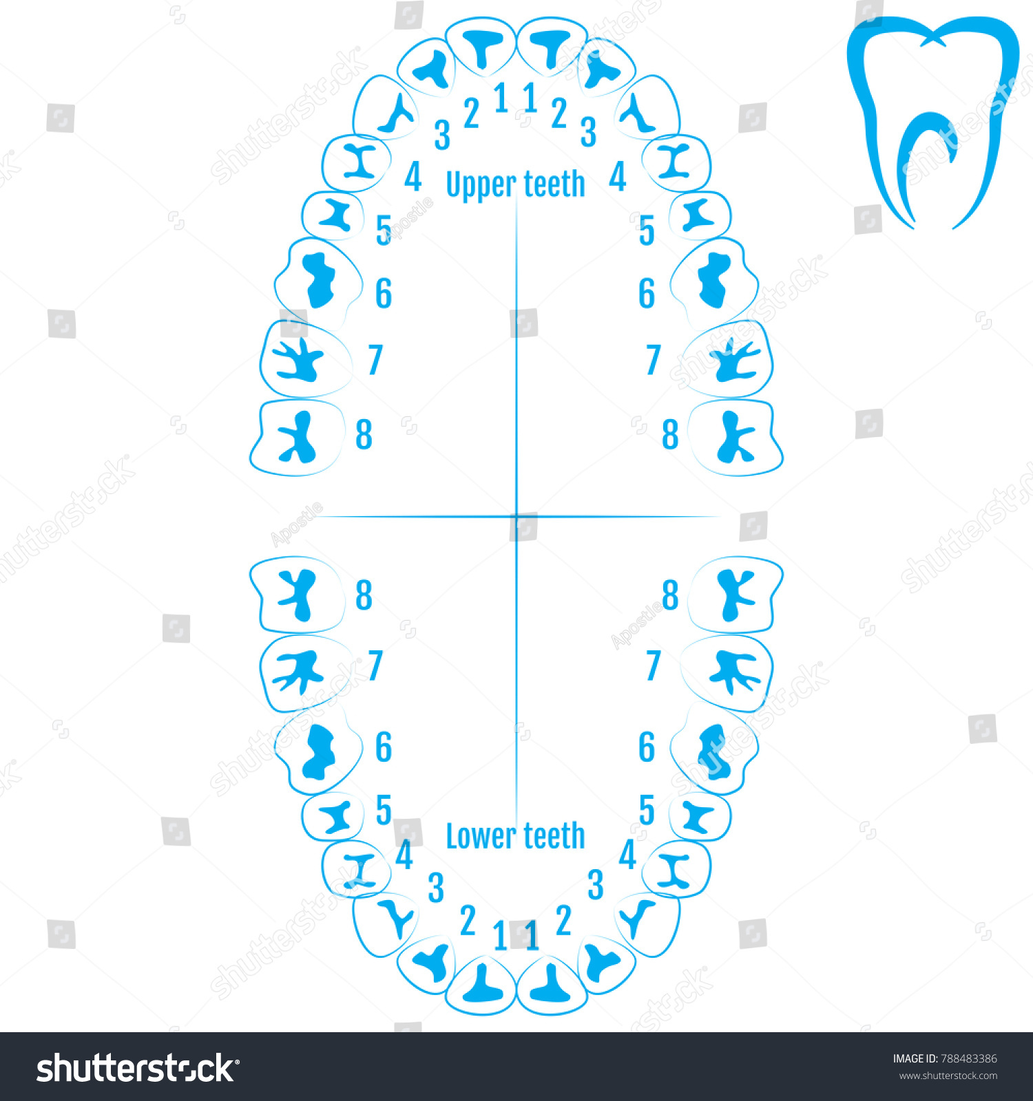 Human Tooth Number Topsimages
