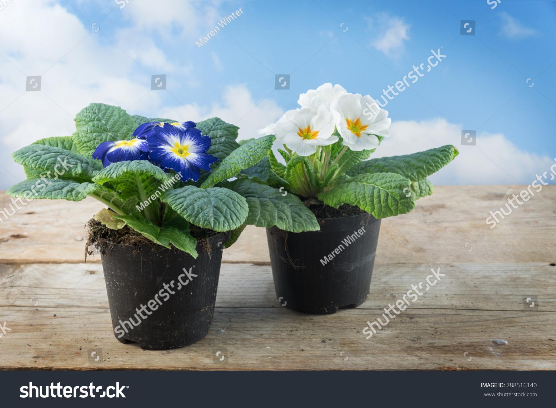Two Primrose Plants Primula Vulgaris Hybrid Stock Photo Edit Now