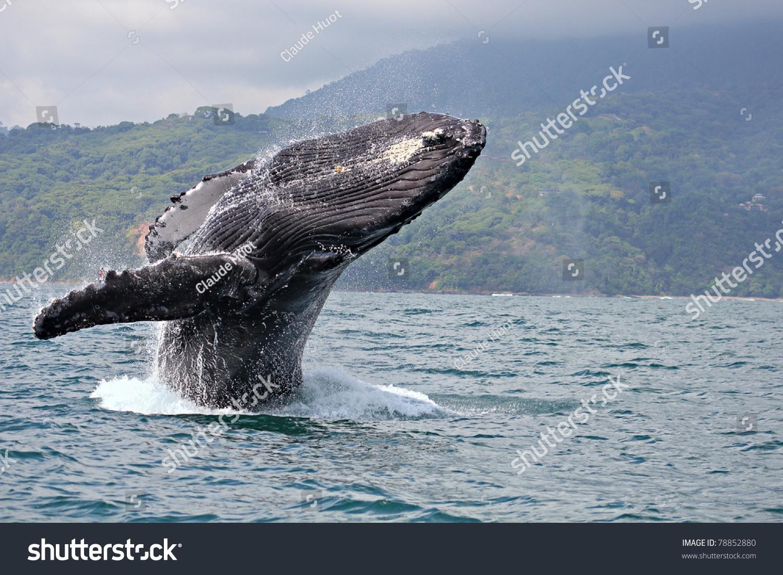 "Humpback whale (Megaptera novaeangliae) breaching in ""Marino Ballena National Park"", Costa Rica"