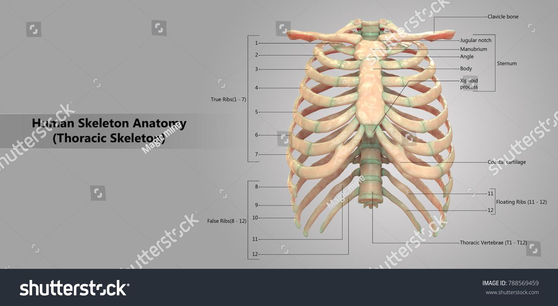 Human Skeleton System Thoracic Skeleton Labels Stock Illustration