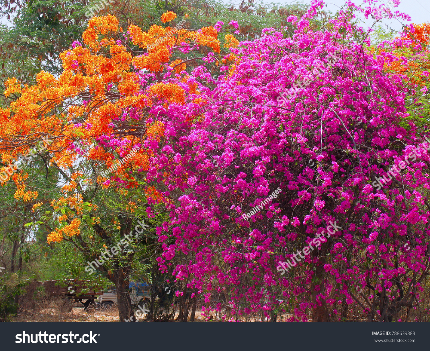 Bougainvillea Family Nyctaginaceae Shrubs Tropical Tender Perennials