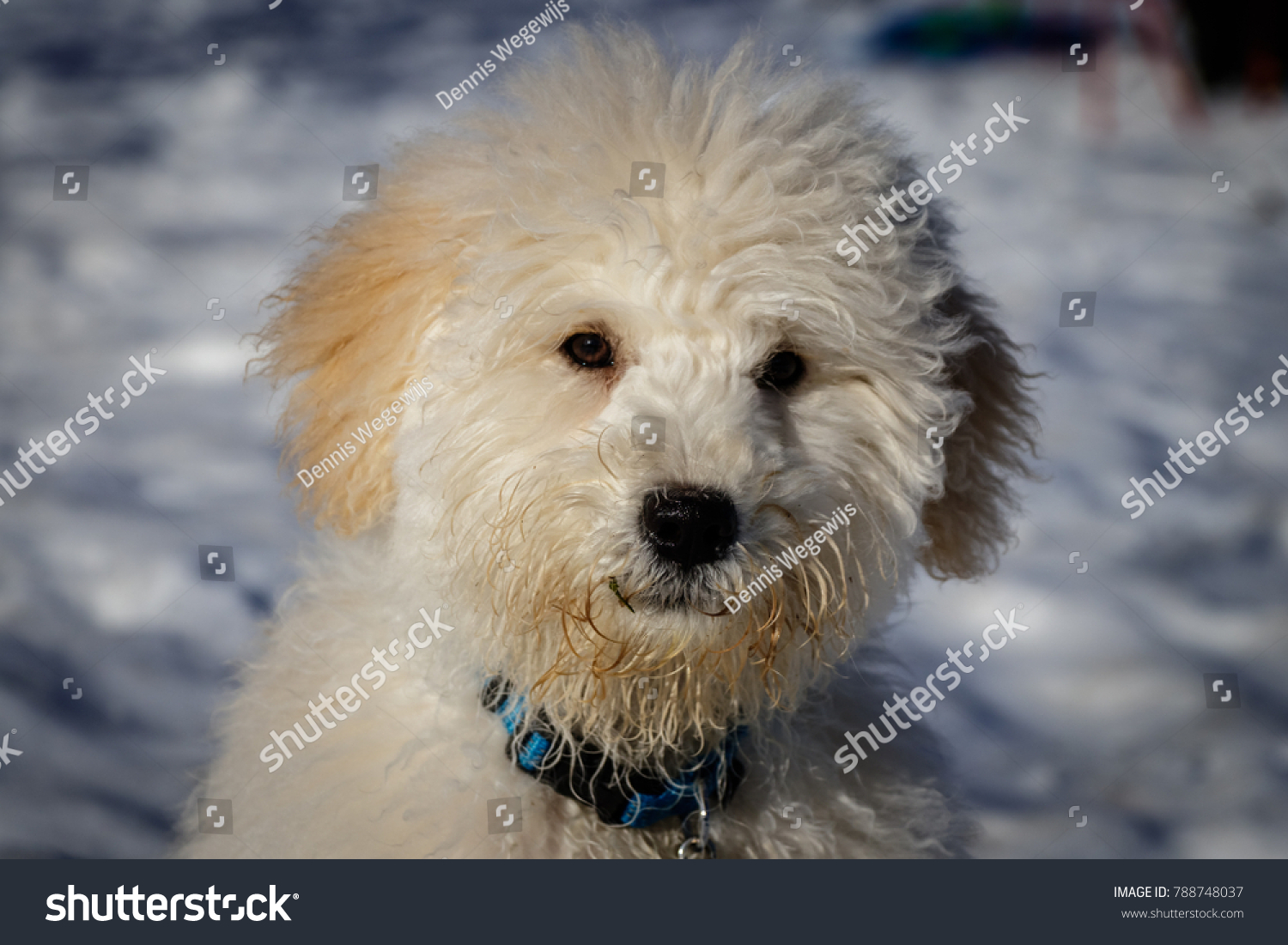 Extremely Cute Baby Golden Doodle Looking Stock Photo Edit Now 788748037