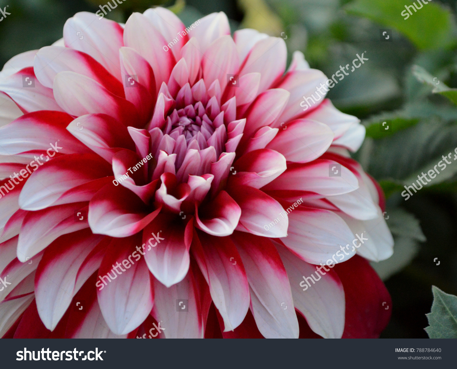 Dahlia Flower Spring Season Stock Photo Edit Now 788784640