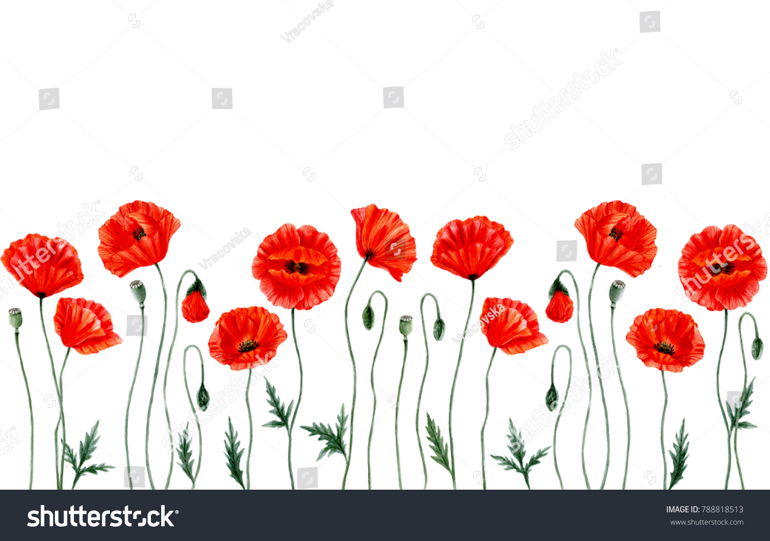 Watercolor Botanical Illustrations Red Poppy Flowers Stock ...